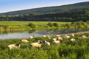 Schafe auf der Weide an der Weser