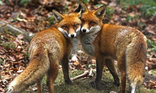 Fuchspärchen Beitrag Natur  und Geopark TERRA.vita