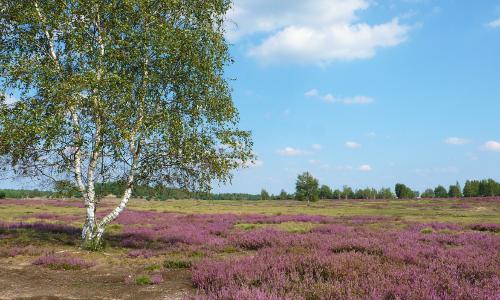 Heidebilder 062b Traum in lila – Heideblüte in Naturparken