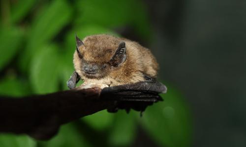 Junge Fledermaus VDN Günther Deschb Fledermaus Safari für Kinder