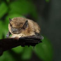 Junge Fledermaus ©VDN/Günther Desch