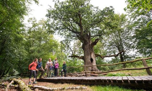 Kamin Eiche im Urwald Sababurg Naturpark Reinhardswald Paavo Blafieldb Naturpark Reinhardswald