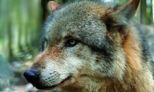 """Kenners Landlust wolf gross Foto Biohotel Kenners LandLustb """"Anders reisen"""" — Ungewöhnliche Reiseangebote aus Naturparken"""