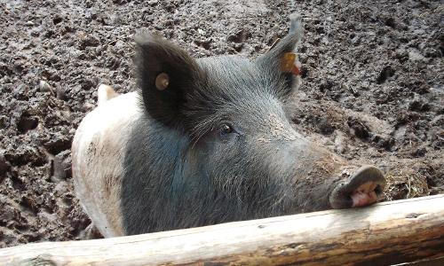 Kommern 064 500x300 Schwein gehabt!   Seltene Nutztierrassen und Regionalmarken