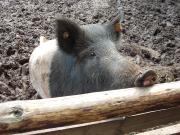 Hier bin ich Schwein, hier darf ichs sein (Deutsches Weideschwein)- Copyright: VDN/ Elisabeth Leuchterd