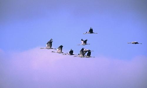 Kraniche 500x300 Rückkehrer   Vogelexkursionen im März