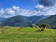 Hinterwälder Rind - Copyright: VDN/Wasmer
