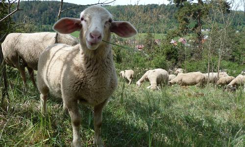 Landschaftspflege beitrag Lammstrudel vom Juradistl Lamm mit Wirsing