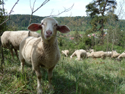 Schafe als Landschaftspfleger - Copyright: Naturpark Hirschwald