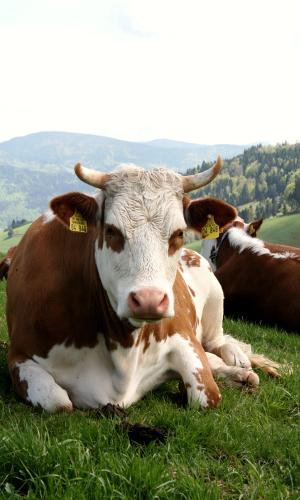 Liesen Hinterwälder Rind liegend vor Schwarzwaldpanorma2b Mit alten Sorten und Rassen erfolgreich zur regionalen Wertschöpfung