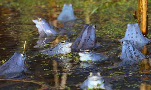 Moorfrösche beitrag Naturpark Lauenburgische Seen – Stille und Natur aktiv erleben