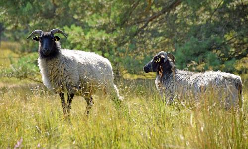 NPA Heidschnucken Störkathen Beitrag Landschaftspflege in Naturparken
