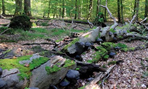 NPA Totholz Waldumbau Beitrag Naturpark Aukrug