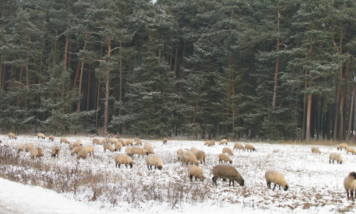 NPF Schafe im Schnee beitrag Abwechslung und Ruhe – Naturpark Fläming