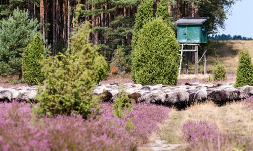 Oberohe Heide MT DSC5194b Stimmungsvolle Heidelandschaft