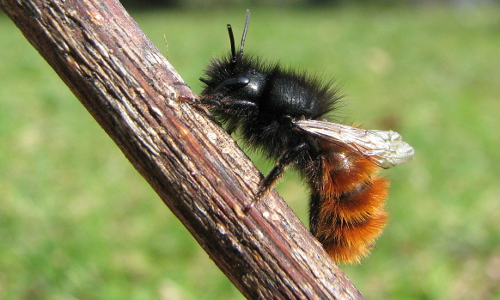 "Rote Mauerbiene beitrag ""Dufte Bienen"" – Bienenschutz in Naturparken"