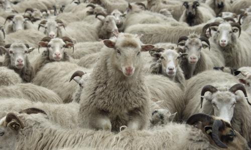 Schafe 061 beitrag Landschaftspflege in Naturparken