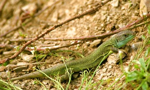Smaragdeidechse Karlheinz Rappb Naturpark Nassau