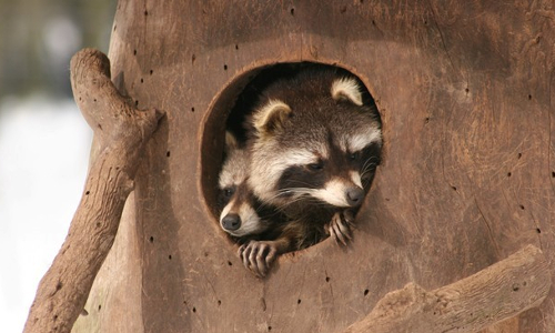 Solling Vogler3b Zuwanderer – Invasive Arten in Naturparken