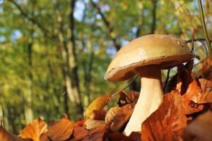 Pilze sammeln in unseren heimischen - Copyright: Friedrich J. Flint