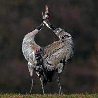 Tanz der Kraniche©VDN/Gernot Blum