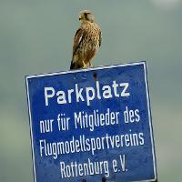 Turmfalke - Copyright: VDN/Erich Tomschi