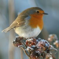 Rotkehlchen im Winter - Copyright: VDN/Uwmich