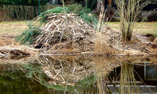 Wahrenbrck 13. Mrz 11 013 beitrag Gut gebaut   Biber in Naturparken