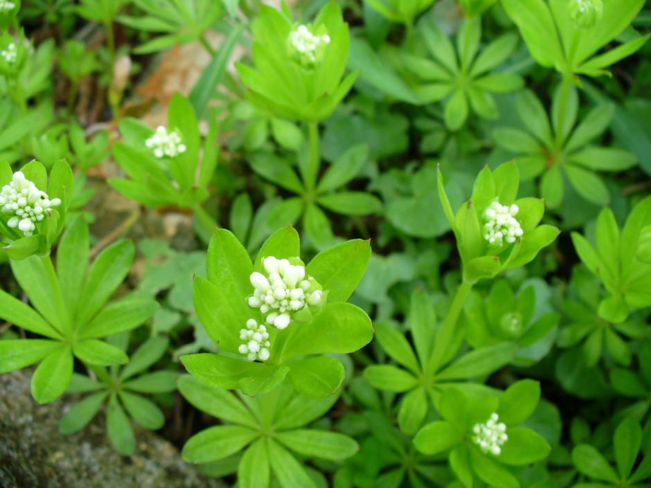 Waldmeister beitrag Garten Meyer 23.4.08 012 940x705 Der Geschmack des Waldes   Waldmeisterbowle und mehr