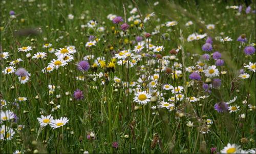 "Wildwiese beiotrag ""Dufte Bienen"" – Bienenschutz in Naturparken"