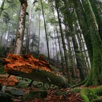 Zweribach Bannwald im Naturpark Südschwarzwald - Copyright: VDN/Wolfgang Herman