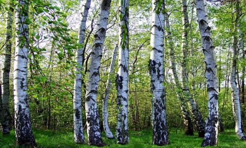 birkenwald a21056496b Blätterwerk – Baumbestimmung leichtgemacht