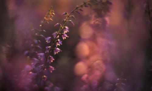 calluna abend 105 klb Traum in lila – Heideblüte in Naturparken