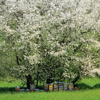 Streuobstwiese - Eldorado für die Bienen©VDN/Ulrike Sobick