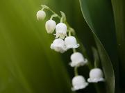 Das Maiglöckchen (Convallaria majalis) - Copyright: VDN/Stephan Amm