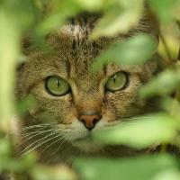 Wildkatze - Copyright: VDN/Maik Elbers
