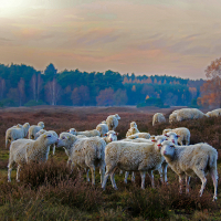 Heidepfleger - Copyright: VDN/H.Schier