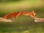 Eichhörnchen - Copyright: VDN/Matze