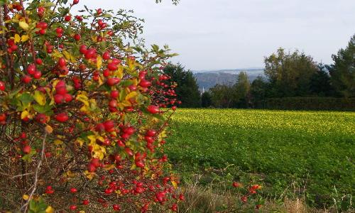 hagebutte Beitrag Wilde Beeren  Mit Hagebutten den Herbst entdecken
