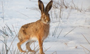 Hase im Winter