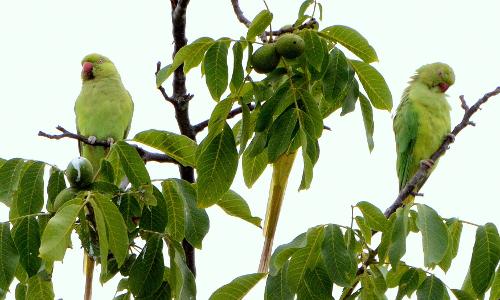 hbs 0441 a npb Zuwanderer – Invasive Arten in Naturparken
