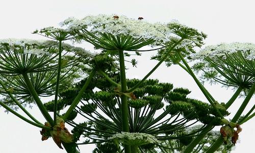 heracleum panoramab Zuwanderer – Invasive Arten in Naturparken