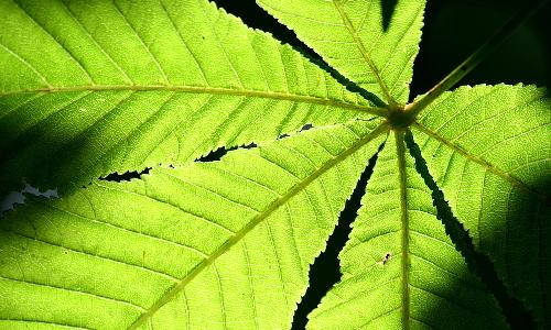 img 4515bpb Blätterwerk – Baumbestimmung leichtgemacht