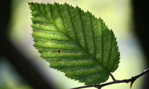 img 6455bb Blätterwerk – Baumbestimmung leichtgemacht