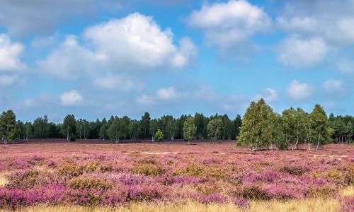 landschaft046 p kraupa 29 08 15 mg 9970 hdrb Traum in lila – Heideblüte in Naturparken