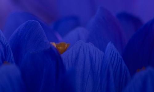 ptx8016bb Krokus von Iris Burk
