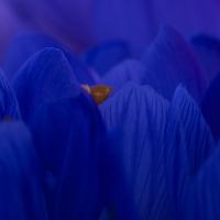 Krokus © VDN / Iris Burk