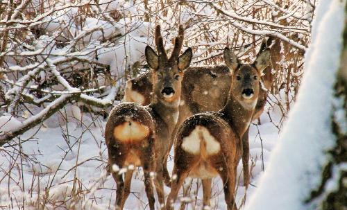 rehe beitrag Unbeschwerter Genuss   Tipps für ein gutes Miteinander von Mensch und Natur im Winter