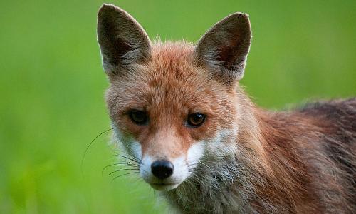 """rotfuchs 2b """"Nur die Liebe zählt"""" – Aus dem Liebesleben der Wildtiere"""