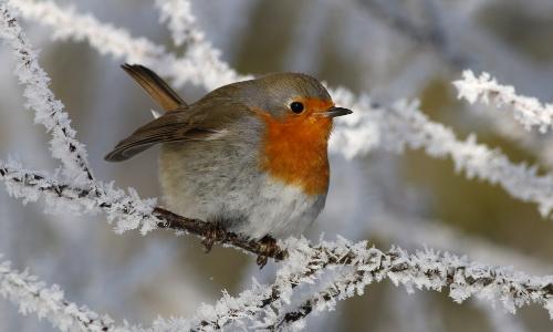 rotkehlchen 34 beitrag Das Winterkleid der Tiere